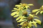 ツワブキに黄蝶
